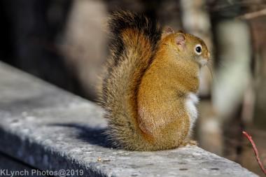 redsquirrel_21