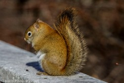 redsquirrel_23