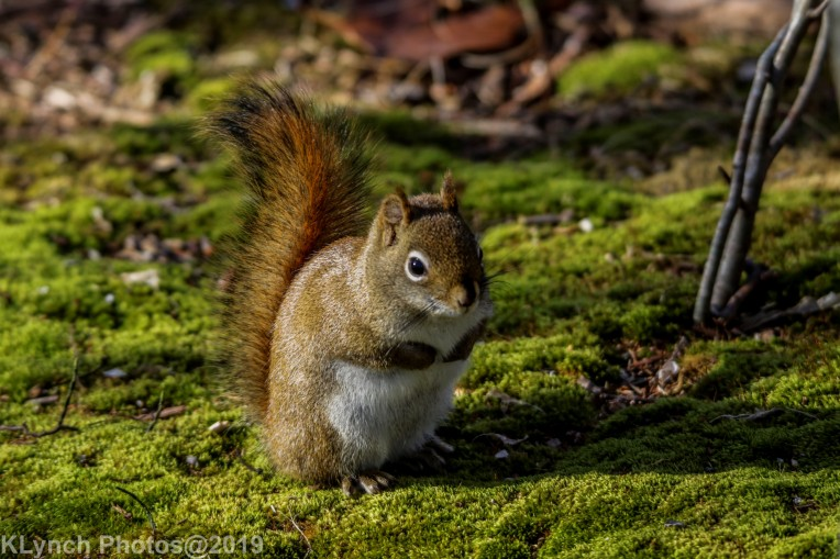 redsquirrel_25
