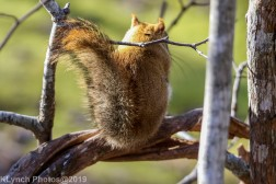 redsquirrel_4