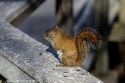 redsquirrel_5