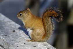 redsquirrel_7