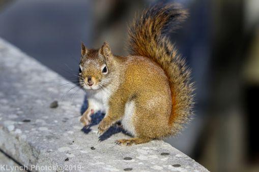 redsquirrel_8