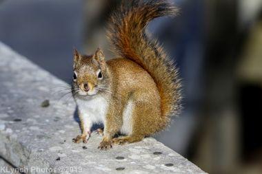 redsquirrel_9