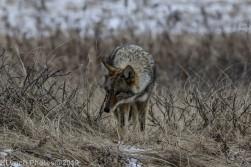 Coyote_10