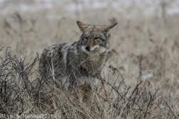 Coyote_12