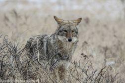 Coyote_15