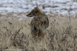 Coyote_18
