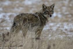 Coyote_21