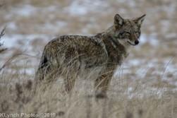 Coyote_22