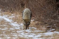 Coyote_25