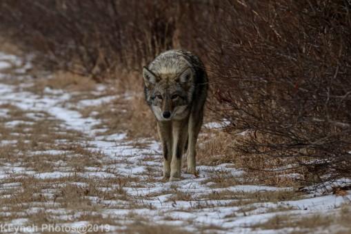 Coyote_26