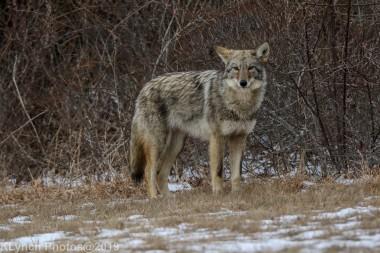 Coyote_29