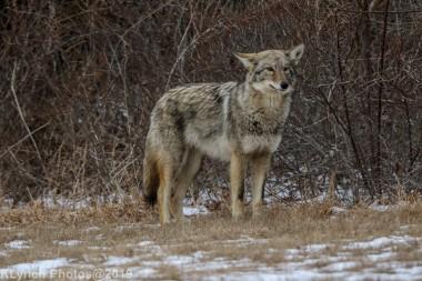 Coyote_30