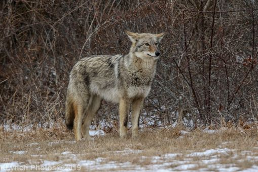 Coyote_31
