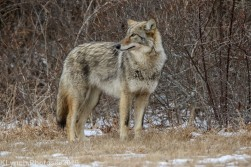 Coyote_32