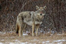 Coyote_34
