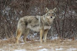 Coyote_37