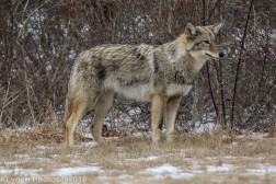 Coyote_39