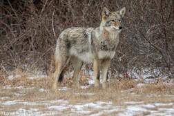 Coyote_41