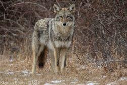 Coyote_43