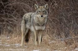 Coyote_44