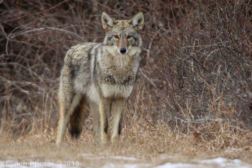 Coyote_47
