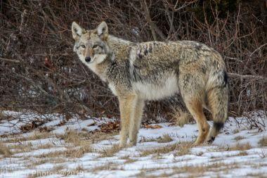 Coyote_50