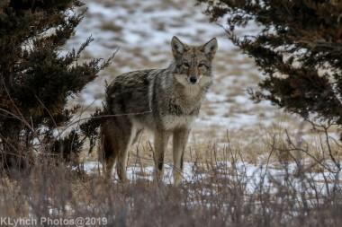 Coyote_52