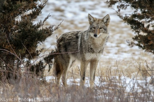 Coyote_53