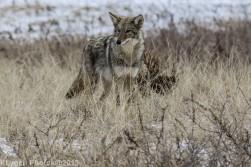 Coyote_56