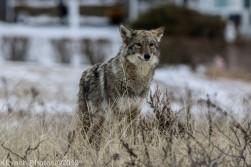 Coyote_58