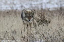 Coyote_59