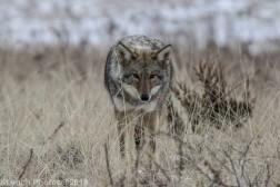 Coyote_60