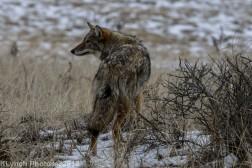 Coyote_62