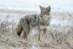 Coyote_66
