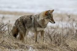 Coyote_67