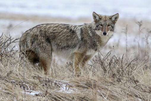 Coyote_68
