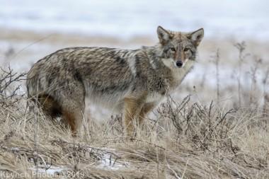 Coyote_69