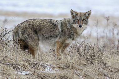 Coyote_70