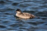 Duck_10