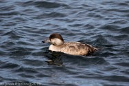 Duck_7