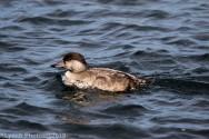 Duck_8