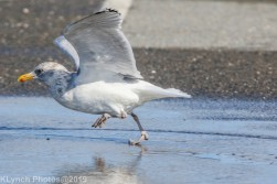 gull_1