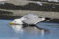 gull_12