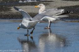 gull_4