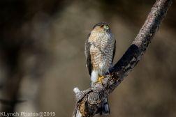 Hawk_10