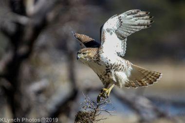 Hawk_12