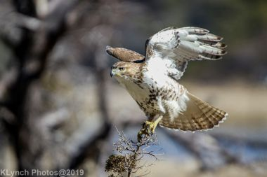 Hawk_13