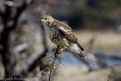 Hawk_17